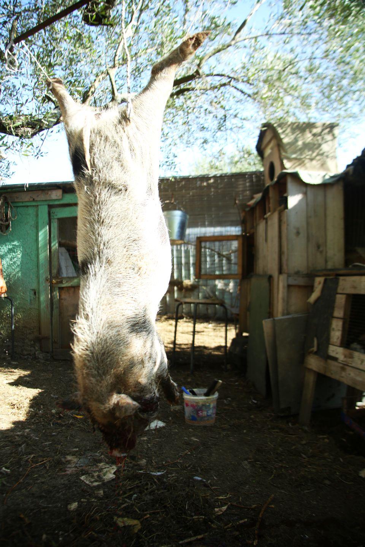 Bolzenschussgerät Schweine