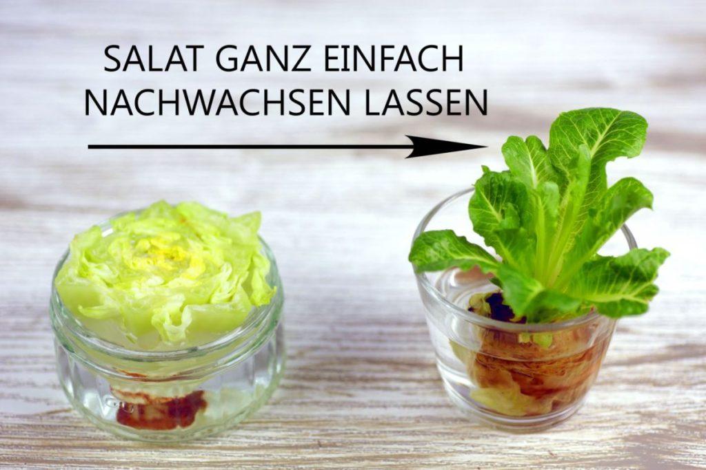 Salat nachwachsen lassen