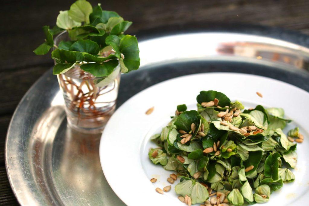 Buchenkeimling-Salat