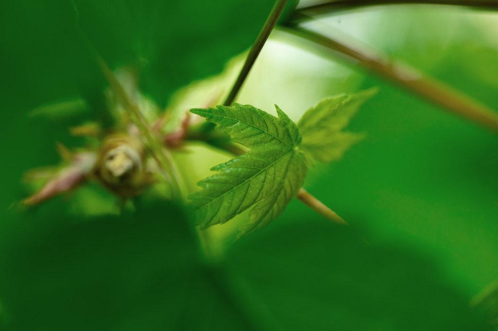 Essbare Wildkräuter: junges Ahornlaub